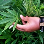 cannabis 300 xchng 540325_49382752 free Mateusz Atroszko